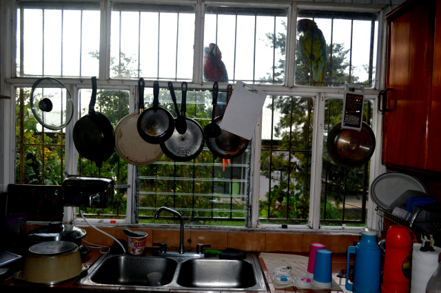 2 Macaws perched on the kitchen window..